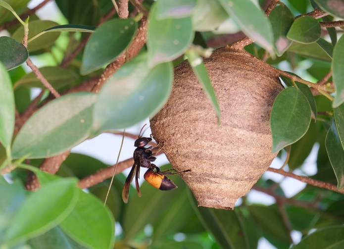 Sowhy Are Women Putting Wasps Nests In Their Vagina -5606